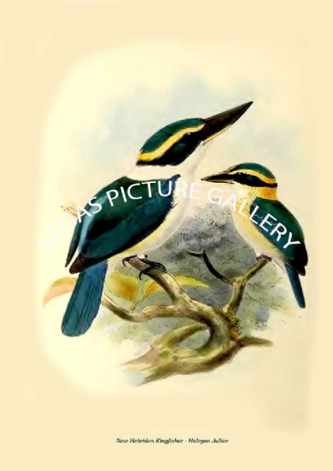 Fine art print of the New Hebrides Kingfisher - Halcyon Juliae by  the artist Johannes Gerardus Keulemans (1868-1871)